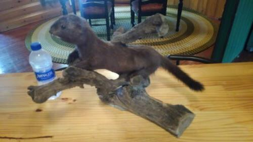 New Taxidermy mount All offers OK FREE SHIPPING real stuffed